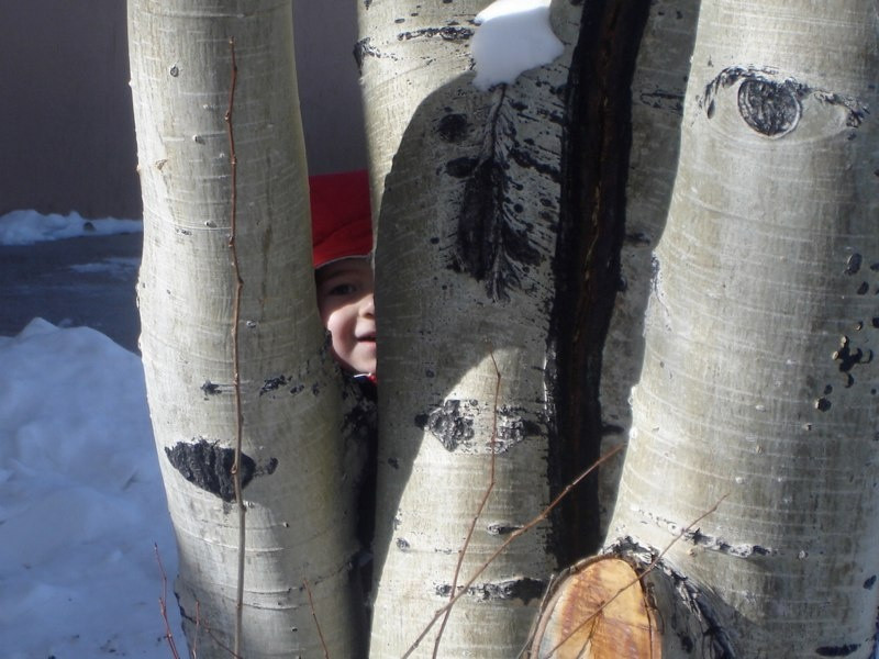 Peek-a-boo birches